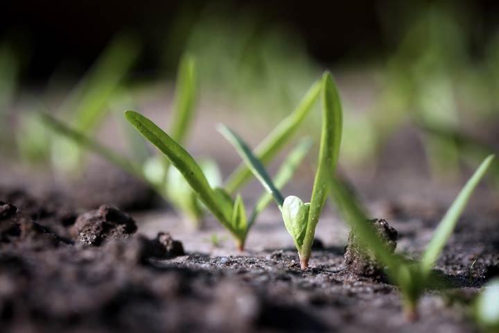 Junge Spinat Pflanzen